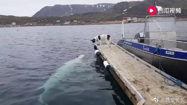 一只吹风的狗狗偶遇一头调皮的白鲸!
