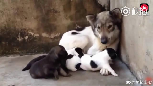 流浪狗妈妈哺育小狗,看到最后的时候很压抑也很愤怒……