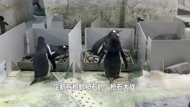 """国庆节来大连圣亚看企鹅""""抢石大战"""""""