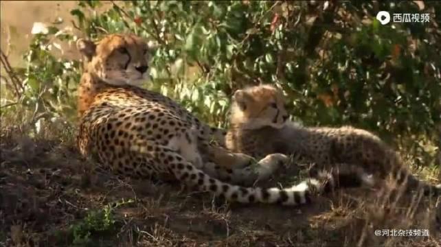 都是妈妈心中的宝贝,猎豹的孩子和瞪羚的孩子命运完全不同!