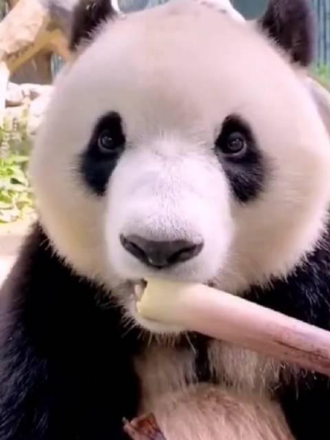 大熊猫吃竹笋的样子太可爱了吧,而且还会剥皮 ……