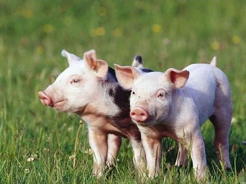 十猪九不全:揭秘71年生肖猪的毕生寿命,过了岁49后什么命?