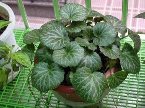 盆栽植物虎耳草怎么栽培好?