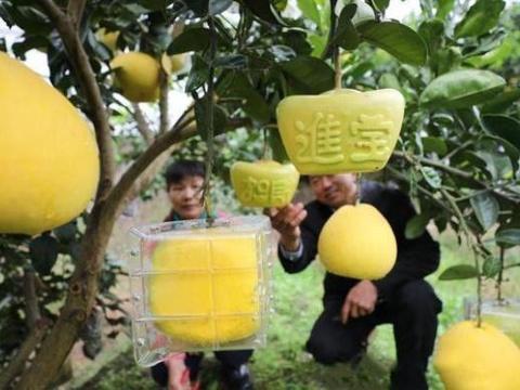 果农受日本启发,引入方形西瓜技术,种出特色柚子卖200元一个
