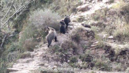 亚博体彩平台:野生保险专家在三江源发现罕见的西藏棕熊