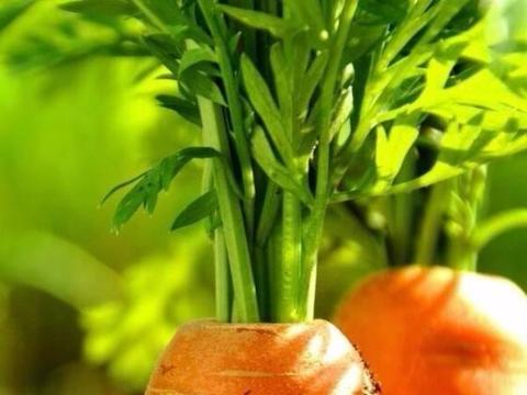 """养花比较难?那不如栽这3种""""补血菜""""吧,营养丰富、绿色健康!"""
