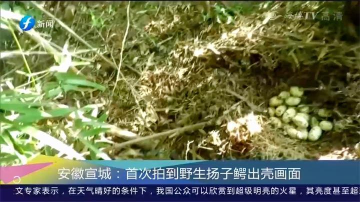 安徽宣城:科学人员借助科学手段首次拍到扬子鳄出壳画面
