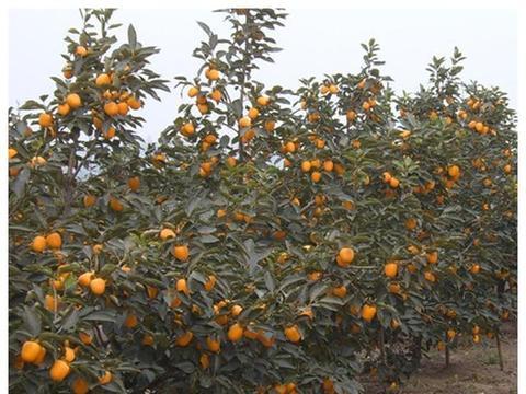 柿树嫁接育苗新技术|砧木|苗圃|柿树