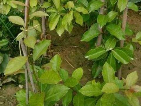 """叶仙是什么植物?为什么会被称之为""""万能砧木"""""""