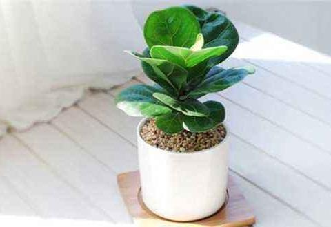 盆栽植物琴叶榕怎么浇水好?