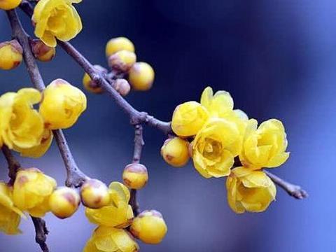 腊梅色黄如腊,浓香扑鼻,适合在春季栽种,腊梅如何栽种?
