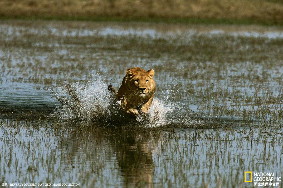 博茨瓦纳,奥卡万戈三角洲,母狮涉水冲向的猎物