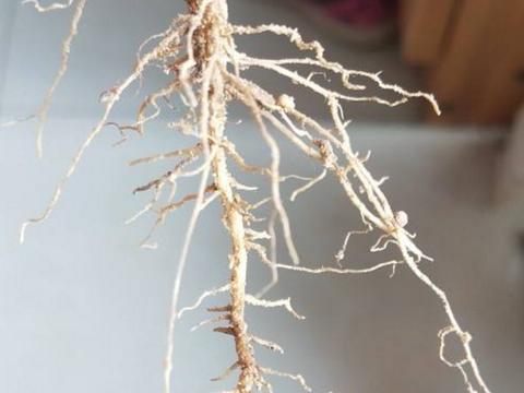 """固氮能手根瘤菌,遇到花卉变""""坏蛋"""",及时采取措施!"""