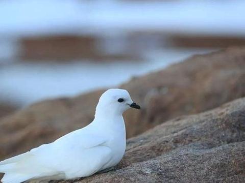 """南极科考站雪鹱出没,羽毛纯洁如雪,筑巢""""最南""""的鸟类"""