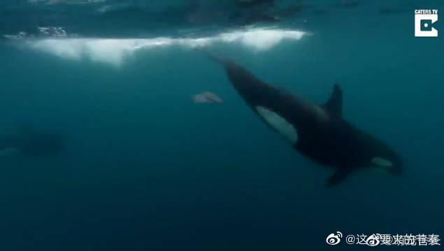 鳐:虎鲨你是不是有病啊虎鲨:嘤嘤嘤
