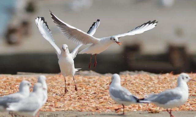 """""""神话之鸟""""中国凤头燕鸥出现在青岛城"""