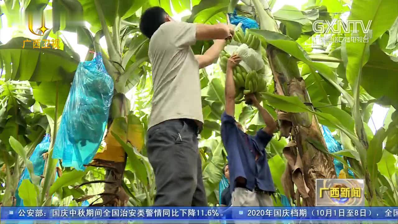 广西香蕉枯萎病综合防控技术取得创新性突破