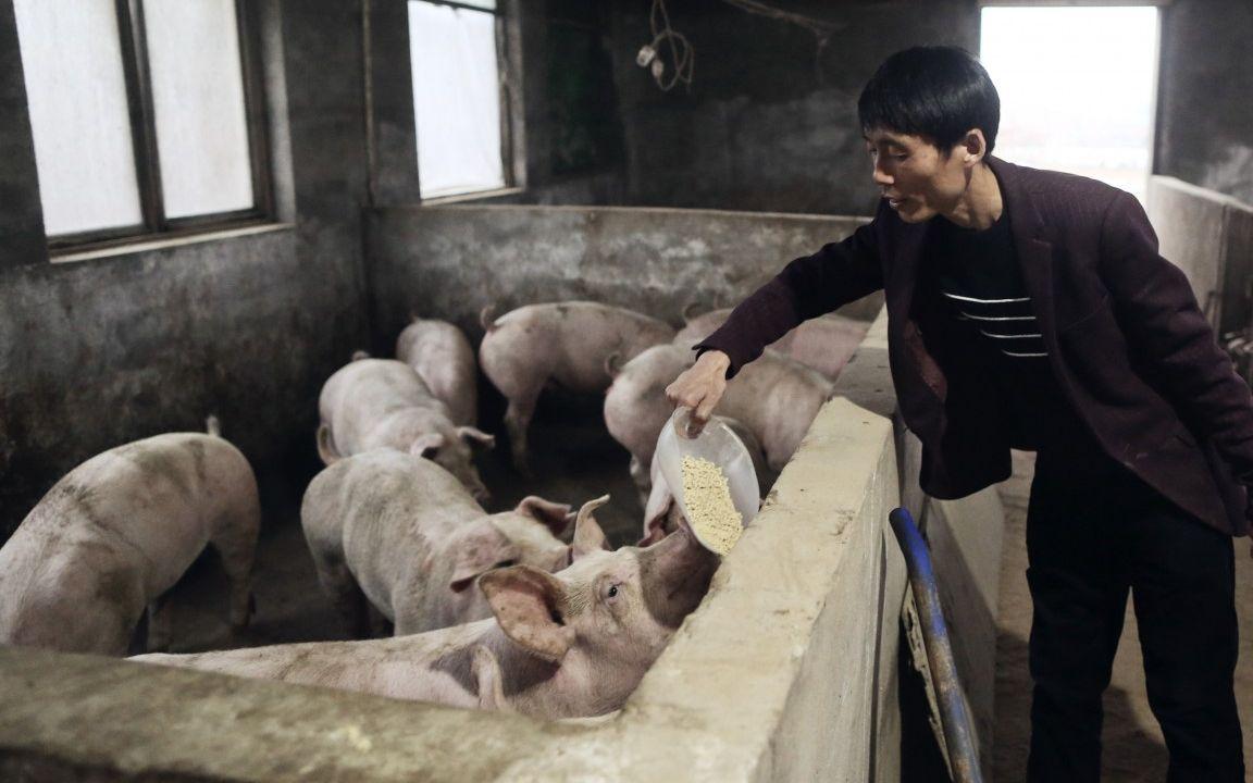 """牧原日赚过亿却市值缩水,温氏Q3净利预减,""""猪周期""""将下行?图片"""