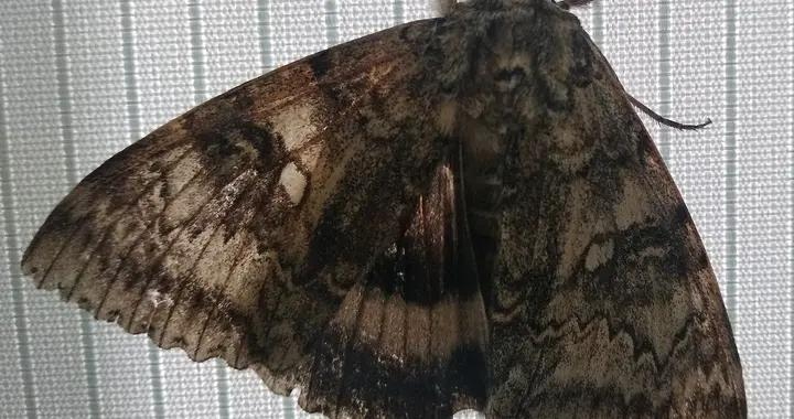 切尔诺贝利辐射生物圈保护区发现鸟一般大的蝴蝶