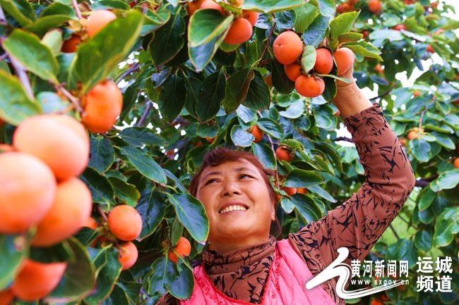 夏县:柿红满山