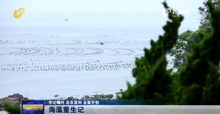 【牢记嘱托 走在前列 全面开创】长岛修复海洋生态投入20亿 藻类增加30多种