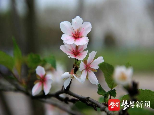 秋天不同的风景:南京慕岩风景区樱花反季节开放