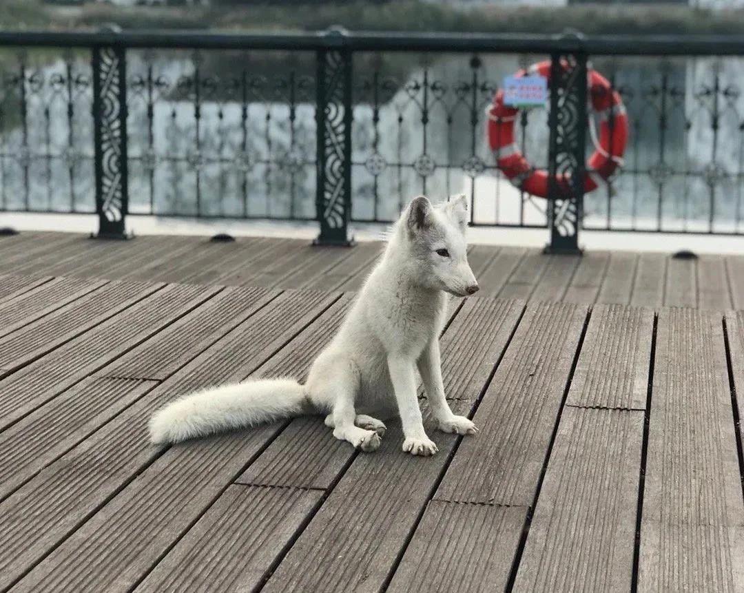 """南开校园现""""小白狐"""",校园动物保护组织:保持观赏距离,勿惊扰图片"""