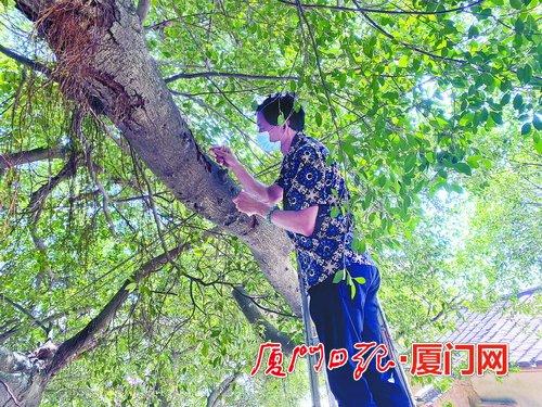 集美西亭村古榕树枝干被蛀空叶子快掉光 市民反映情况求救
