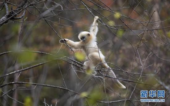神农架:秋天的猴趣