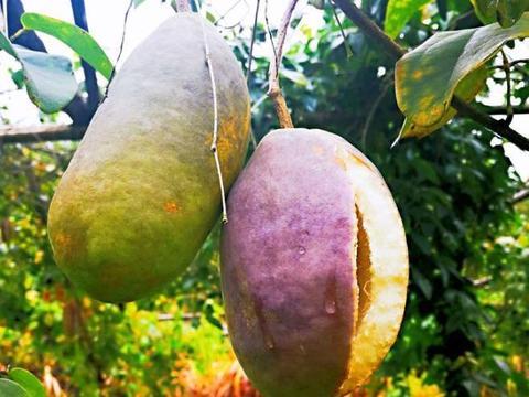 八月瓜种植有前途吗?3个方面的缺陷,种植户需留意