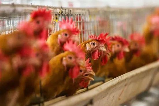 风险抵抗能力弱、盈利波动频繁 晓鸣农牧IPO能否一鸣惊人?