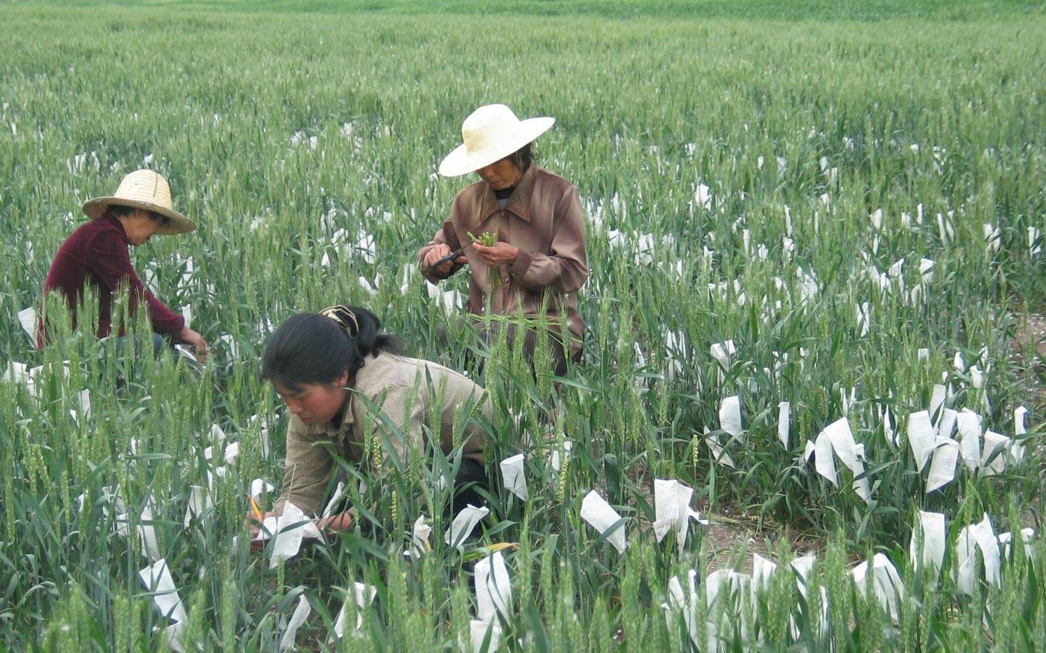 不育变可育 中国科学家通过基因编辑恢复矮败小麦育性图片