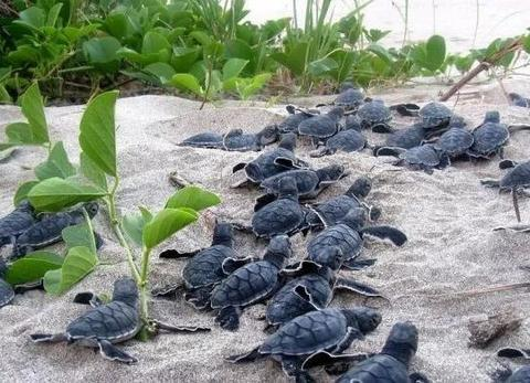3D打印救海龟!女博士在假海龟蛋装GPS,智斗偷猎集团......