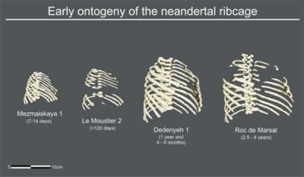 为满足新陈代谢能量需求 尼安德特人一出生就有个大胸腔