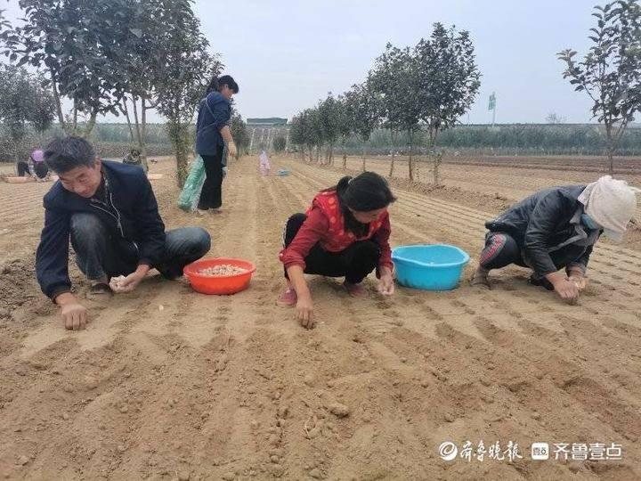 成武县大田集镇10万亩大蒜全面播种