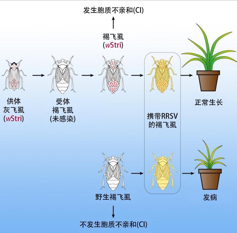 我国科学家取得水稻害虫褐飞虱生物防治新突破图片