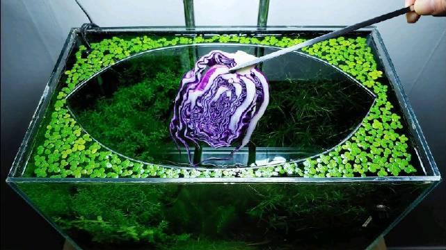 在水族箱中放上一片紫甘蓝,就成了小鱼小虾们的一场盛宴