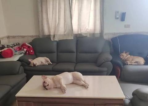 想不到开门迎客,只有三只烤乳猪,桌上的狗眼中有多相?
