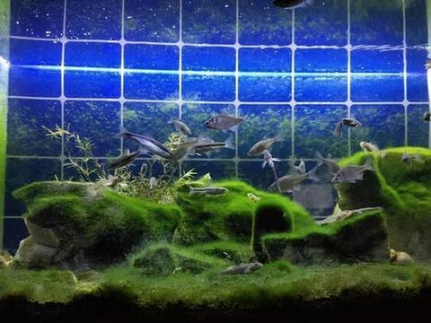 鱼缸的藻类大量爆发,多是鱼主人的前期纵容,之后清理就难了