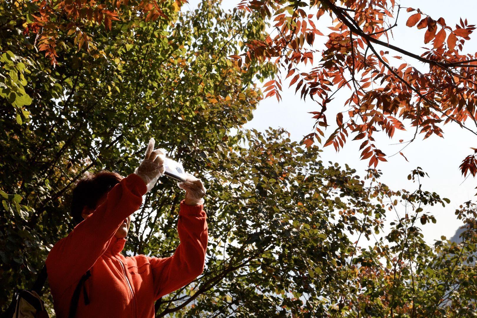 秋天来京郊赏红叶,房山幽岚山坡峰岭红叶节今日开幕图片