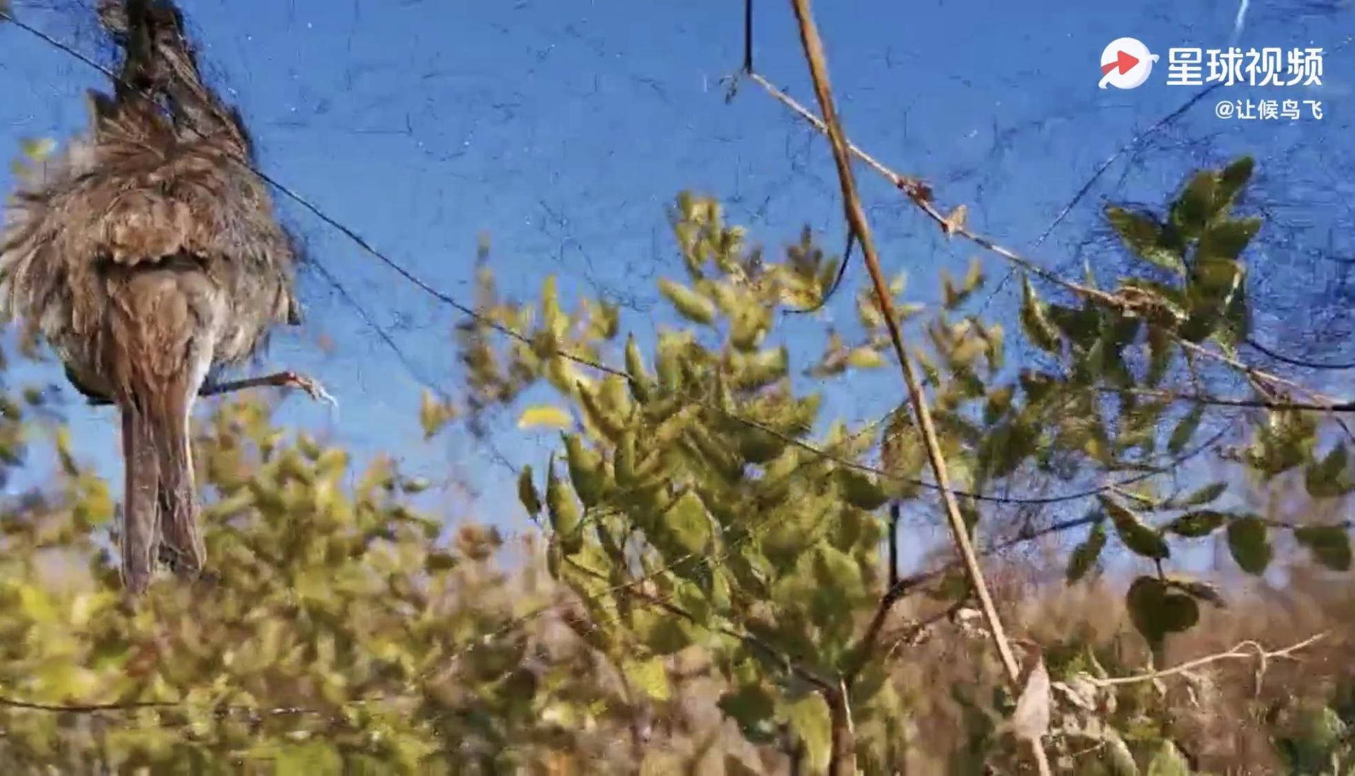 河北多地现大量捕鸟网,国家林草局要求加大迁徙季鸟类保护图片