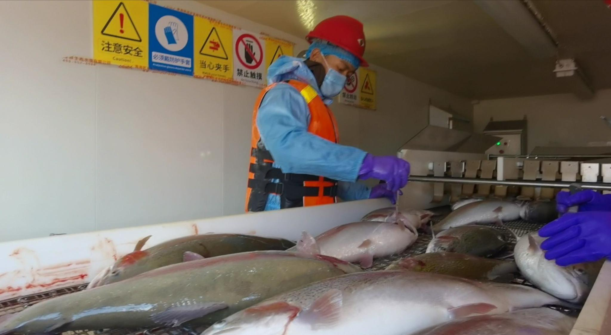 国产三文鱼遭遇内销困境,渔业扶贫或成解决途径图片