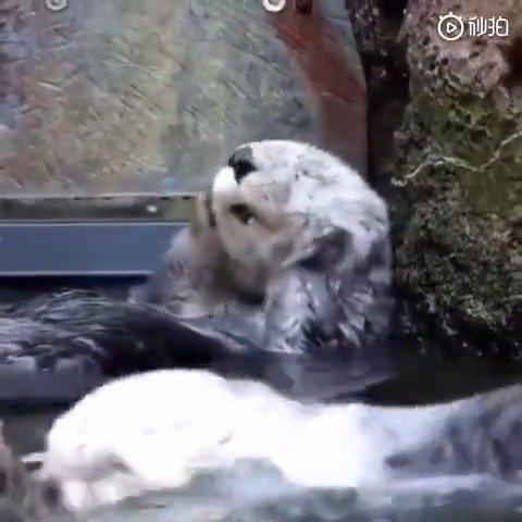 小海獭洗澡太可爱了,这是什么瘦脸操吗