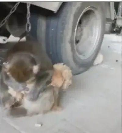 猴子把泰迪抱怀里当宝贝,把这泰迪吓的脸青鼻肿!