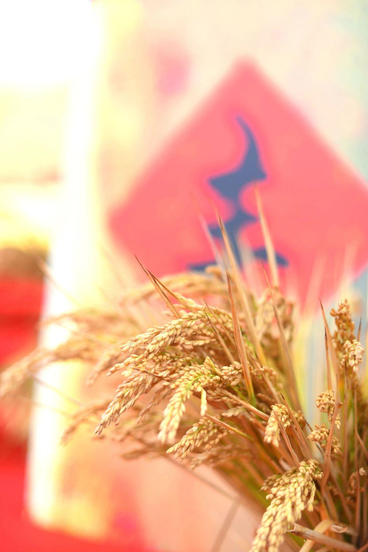 全国10万亩海水稻完成产量测评 平均亩产超千斤