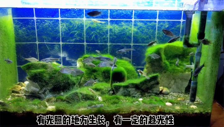 看看原生鱼缸的藻类变化,顺便投喂冰冻丰年虾