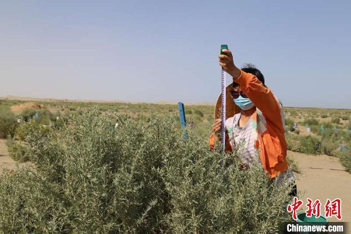 新疆兵团:沙漠边缘定植耐旱饲草树种 防风固沙又见经济效益