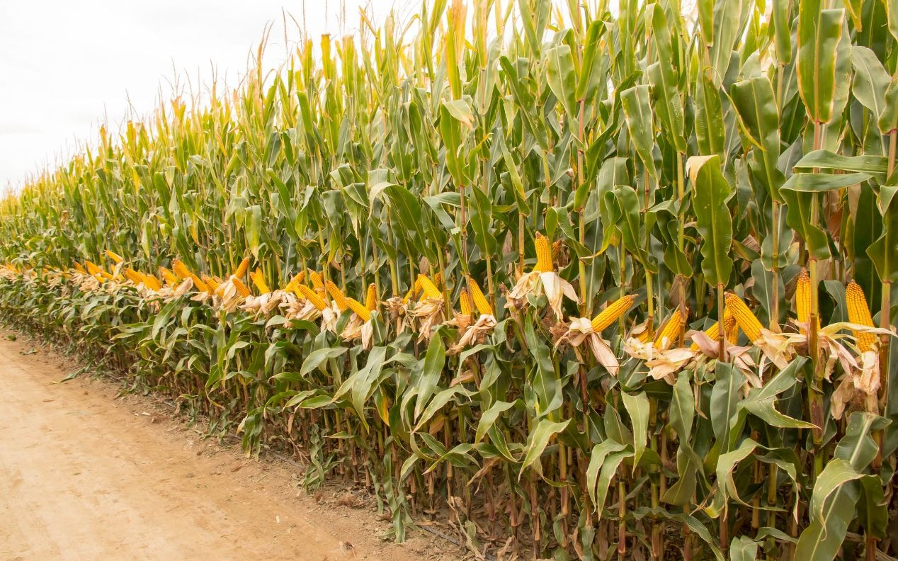 我国玉米亩产创造1663.25公斤新纪录图片