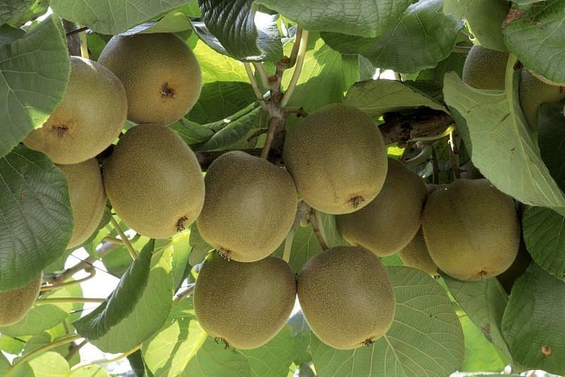 修文县:猕猴桃丰收 种植户增收