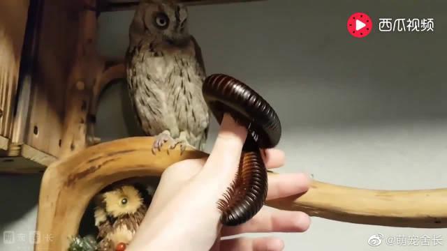 主人用千足虫吓唬猫头鹰,它神情淡定:信不信我给你吃了?